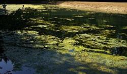 Algues-filamenteuses-spirogyre.jpg