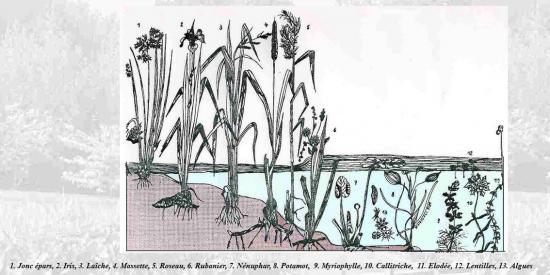 plantes-des-milieux-humides.jpg